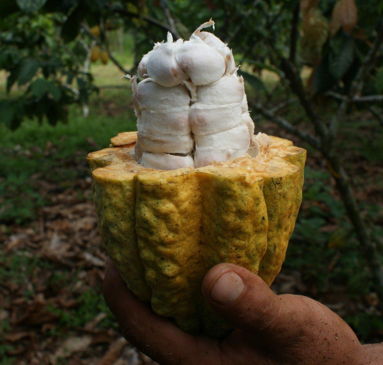Mazorca-de-cacao1.jpg