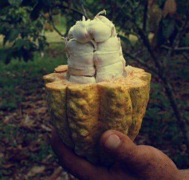 Mazorca-de-cacao1-forest
