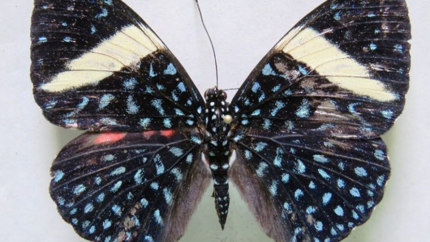 Plantación forestal de MLR es hogar de al menos 72 especies de mariposas