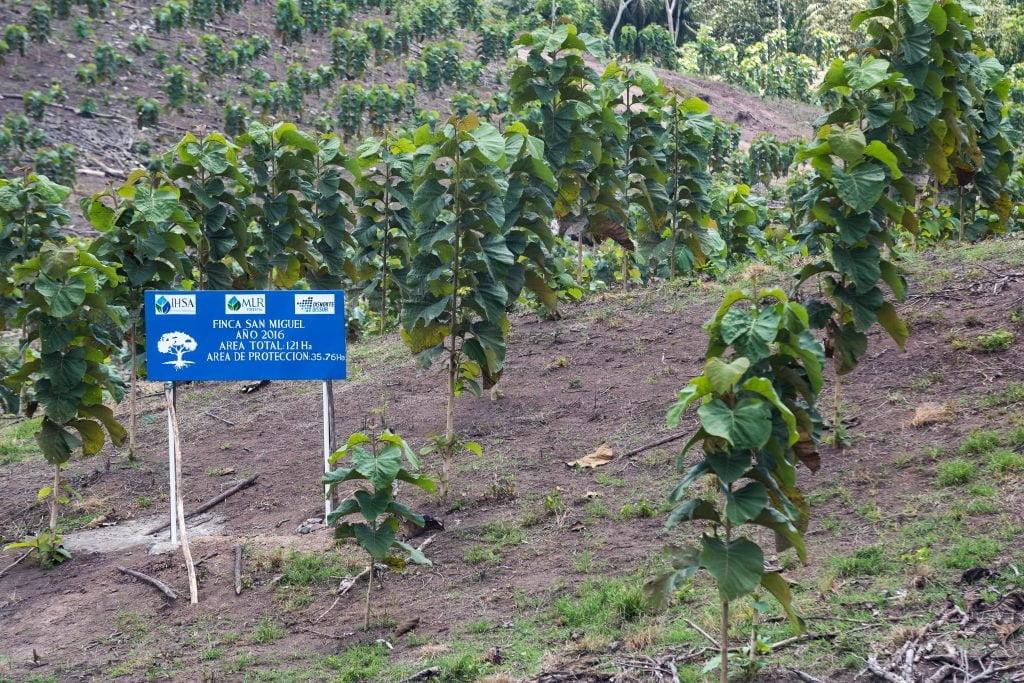 Árboles de Teca de MLR Forestal en Siuna