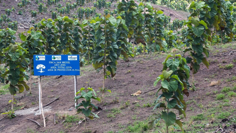 El potencial económico de las plantaciones forestales en Nicaragua