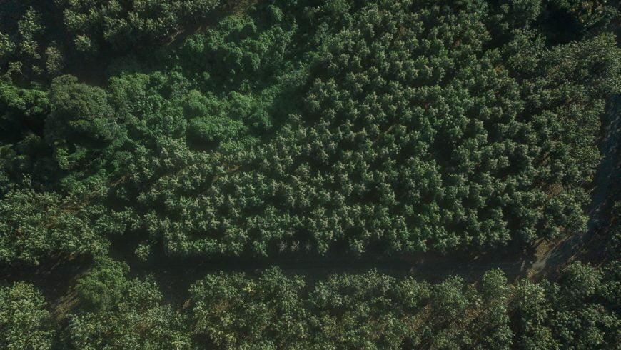 Las plantaciones forestales no son bosques naturales, pero los protegen