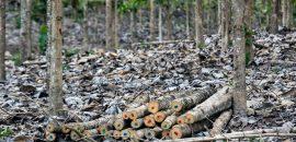 Raleo de la teca: Así se obtienen solo los mejores árboles