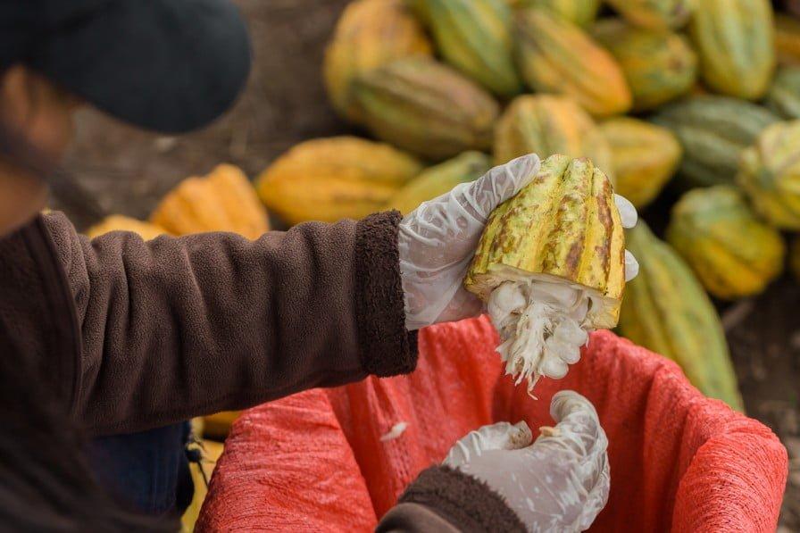 El proceso de producción de cacao en MLR Forestal es riguroso para garantiazar la calidad