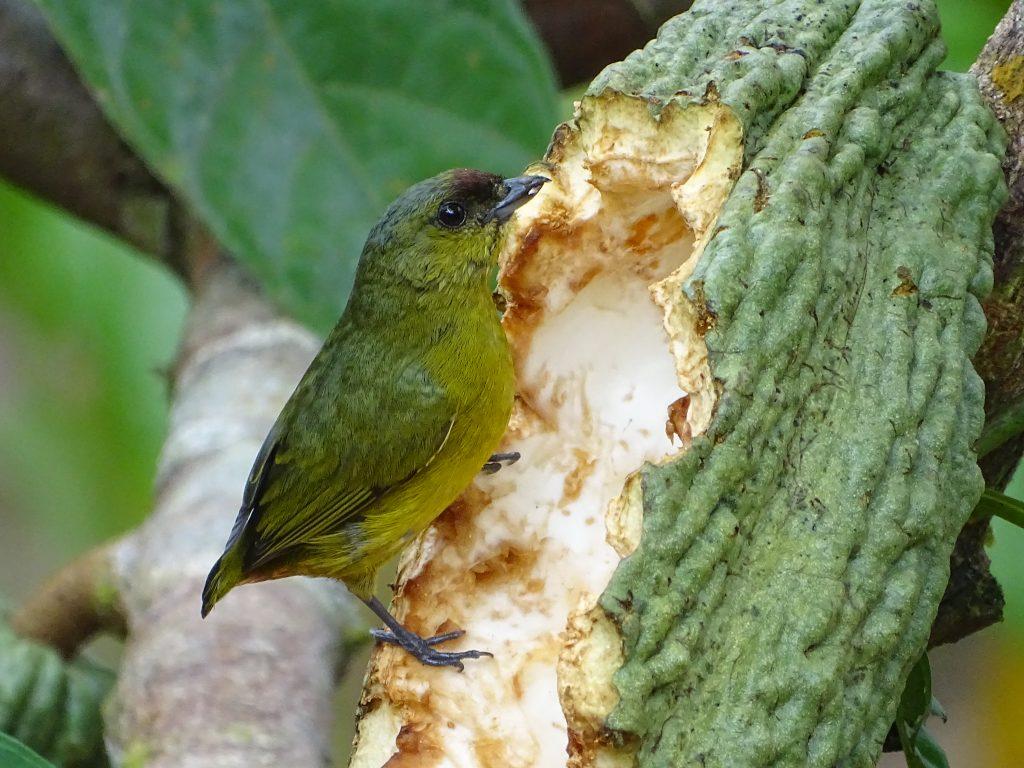 La Eufonia Olivacea es una de las aves identificadas en el catálogo. Muchas de ellas fueron fotografiadas mientras se alimentaban.
