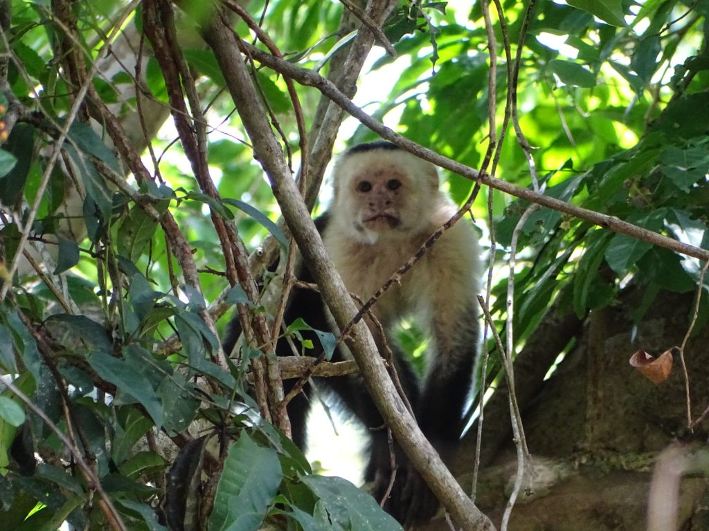 El mono carablanca una especie omnívora, es decir, se alimenta de brotes de hojas tiernas, frutos, algunos vegetales, insectos, huevos de pájaros e incluso de pequeñas lagartijas y otros vertebrados pequeños.
