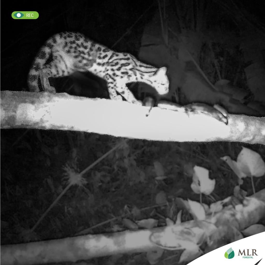 Las cámaras ubicadas en la finca Matis captaron un tigrillo, que es una especie importante para determinar la calidad de un hábitat.