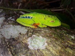 Agalychnis callidryas (Rana Verde de Ojos Rojos)
