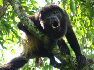 Alouatta palliata (Mono Congo o Mono Aullador)