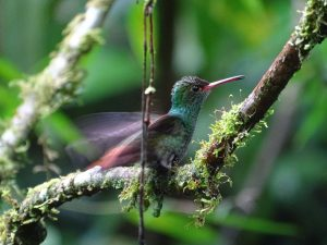 Amazilia tzacatl (Amazilia Rabirrufa)