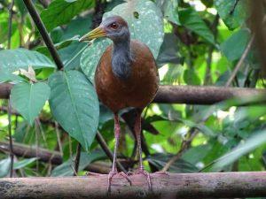 Aramides albiventris (Rascón Poponé)