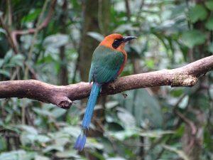 Baryphthengus martii (Guardabarranco Pechicanelo)