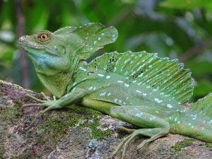Basiliscus plumifrons (Gallego Verde)