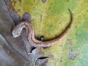 Bolitoglossa striatulaSalamandra Estriada)