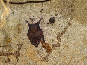 Carollea castanea (Murciélago Frutero Castaño)