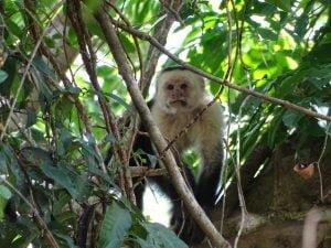 Cebus capucinus (Mono Capuchino o Mono Carablanca)