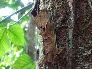Corytophanes cristatus (Camaleón de Casco)