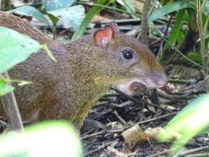 Dasyprocta punctata (Guatusa o Guardiola)