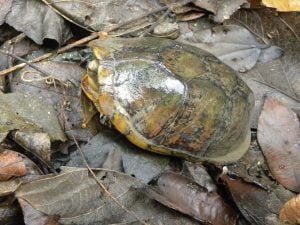 Kinosternon albogulare (Tortuga Pechiquebrado)