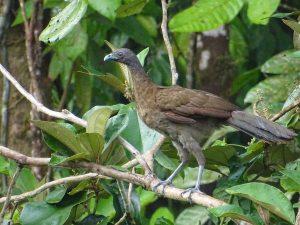Ortalis cinereiceps (Chachalaca Cabecigris)