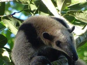 Tamandua mexicana (Oso Hormiguero)