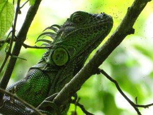 Iguana iguana (Iguana Verde)
