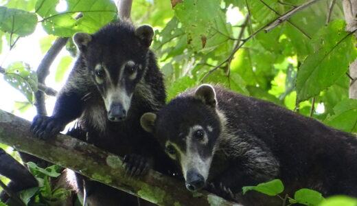 pizote MLR Forestal catálogo de mamíferos